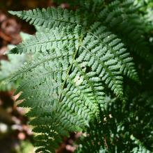 Fern. Photo by Heather Darley.